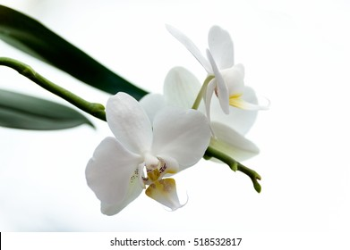 Close-up white flowers of orchid on the white background