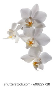 Close-up of white flowers orchid Phalaenopsis isolated on white background