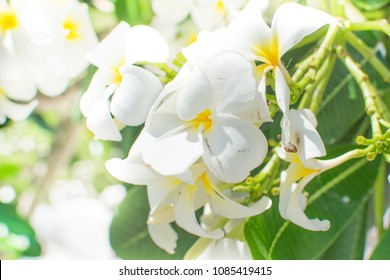 Closeup white Frangipani Flowers. Beautiful Plumeria or Frangipani (Hawaii, Hawaiian Lei Flower, Bali Indonesia, Shri-Lanka, champa) on green leaves background, Thailand spa and therapy flower