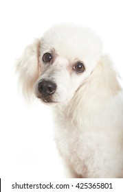 closeup of white french female poodle dog looking at the camera
