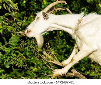 Close-up of white goat's head. Selective focus.  Front legs of white goat abut against tree trunk. White tall goat with long curved horns eats green foliage. Delights of living in countryside.