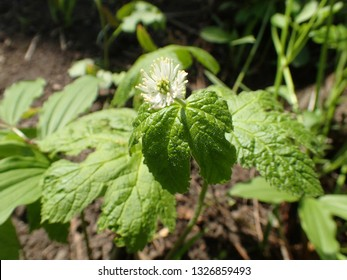Closeup of White Goldenseal in flower with leaves in sunny spring forest