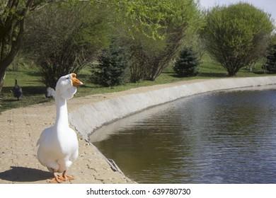 Closeup of White Goose