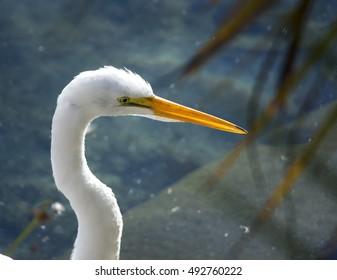 Closeup of a white heron bird  in a blue water pond. portrait of an egret bird.