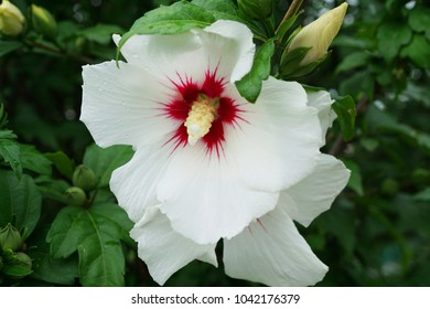 Raspberry Hibiscus Stock Photos Images Photography Shutterstock