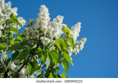 closeup of white lilac branch in full bloom