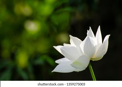 Close-up white lotus flower with drops isolated on black background
