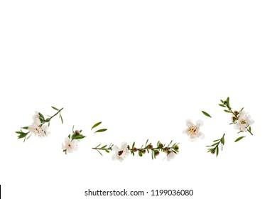 closeup of white manuka flowers on white background with copy space