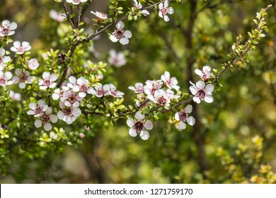 closeup of white manuka tree flowers in bloom with blurred background and copy space