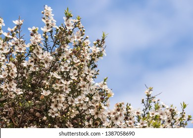 closeup of white manuka tree flowers against blue sky with copy space above