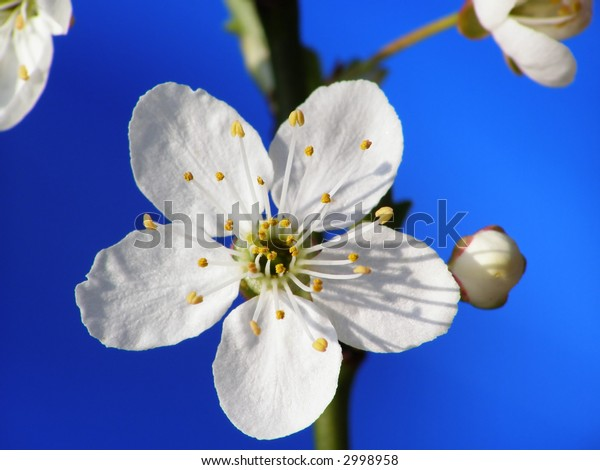 Close-up of white mirabelle flower against clear blue spring sky