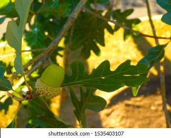 Closeup of a white oak leaf and acorn on a fall day.