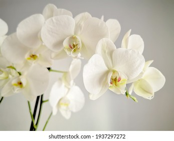 closeup of white orchid flowers