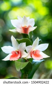 Close-up of white orchids. (Dendrobrium cruentum)  Beautiful rare wild orchids in tropical forest of Thailand.