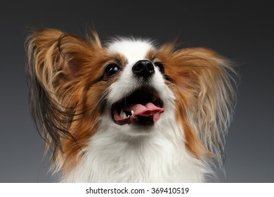 Closeup White Papillon Dog Looking up on black background