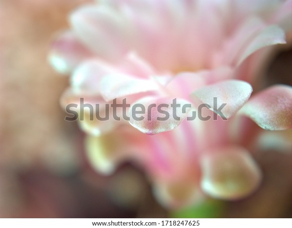 Closeup white ,pink petals of cactus flower desert plant , succulent with soft focus, blurred background ,macro image, sweet color, bright for card design