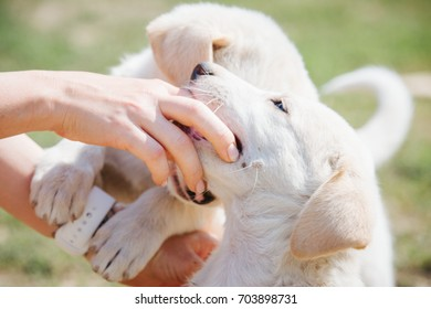 Close-up of the white puppy bitng woman's hands
