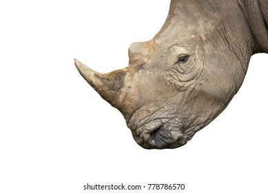 Closeup White rhinoceros isolated on white background