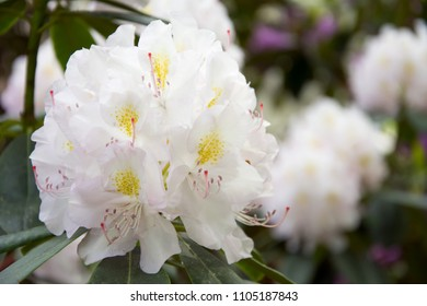Closeup of a white rhododendron flower with ovaries and filaments