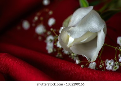 Close-up of a white rose with gypsophilia on a red surface. Landscape orientation, limited depth of field, negative space