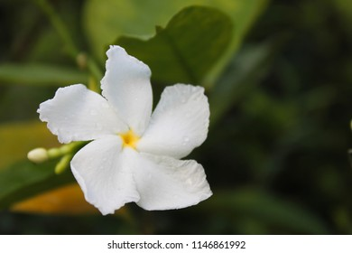 Closeup of white Sampaguita Jasmine or Arabian Jasmine.