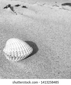Closeup of white seashell on sandy beach a sunny summer day, Image in black and white.