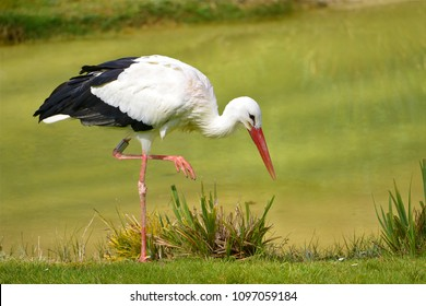 Closeup white stork (Ciconia ciconia) standing on grass, a raised leg, looking for food near of pond
