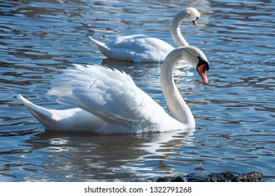 Closeup of white swans on the river