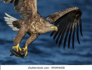 Close-up of a white tailed eagle after snatching a coal fish