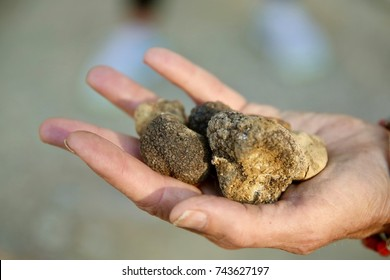 Closeup of white truffles held in the palm of a hand.