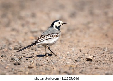 Closeup of a White Wagtail (Motacilla alba) A bird with white, gray and black feathers. The White Wagtail is the national bird of Latvia