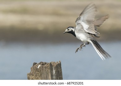 Closeup of a White Wagtail, Motacilla alba, in flight. Bird with white, gray and black feathers. The White Wagtail is the national bird of Latvia