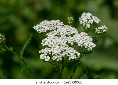 Closeup of white yarrow wildflowers and green leaves with green background