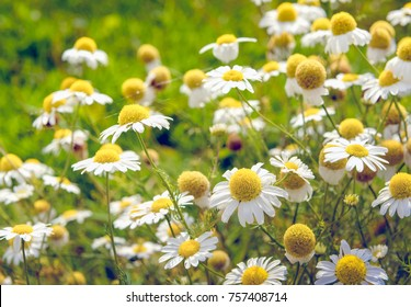 Closeup of white and yellow blooming and overblown chamomile or Matricaria chamomilla plants growing in the wild nature on a sunny day in the summer season. Thin spider silk is visible between flowers