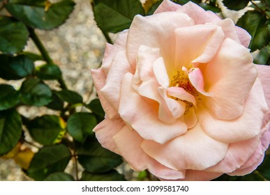 closeup of white, yellow and pink variegated rose with green leaves in background