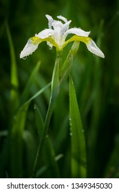 Close-up of white with yellow throated iris flower and stem, iris sibirica, snow queen iris.  Covered with rain water or dew drops.  Select focus with green blurry background. Vertical photo.