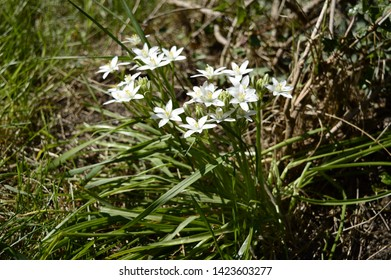 Closeup white zephyranthes candida with blurred background in garden