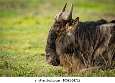 Close-up of white-bearded wildebeest lying on grass