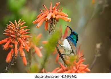 Close-up White-breasted Sunbird, Cinnyris talatala,  iridescent blue-green bird feeding on nectar from aloe red flowers. Wildlife photo. KwaZulu Natal, South Africa.
