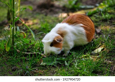 Close-up of white-brown domestic guinea pig cavy in the garden