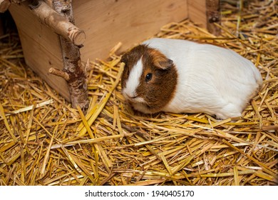 Close-up of white-brown hair domestic guinea pig cavy on the straw