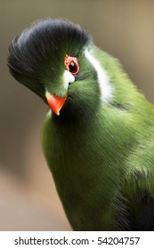 A close-up of a white-cheeked turaco (turaco leucotis).