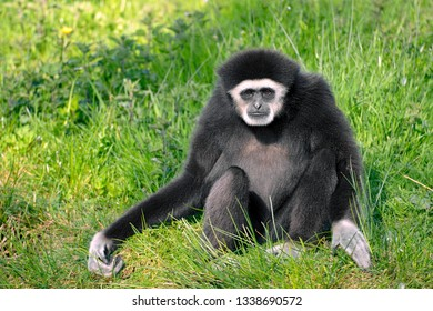 Closeup of white-handed gibbon or white-handed gibbon (Hylobates lar), sitting on grass seen from front