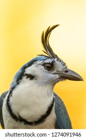 Closeup of a white-throated magpie jay in Carara National Park in Costa Rica