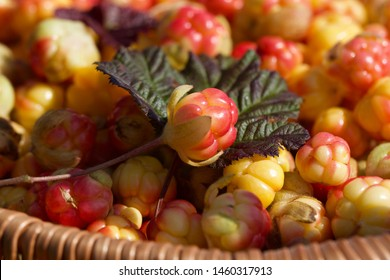 A close-up of wicker basket with cloudberries (Rubus chamaemorus). Season: Summer. Location: Western Siberian taiga.