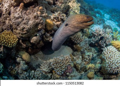 Close-up wide-angle view of moray eel lunging from its lair in the coral reef. Red Sea off the coast of Egypt.