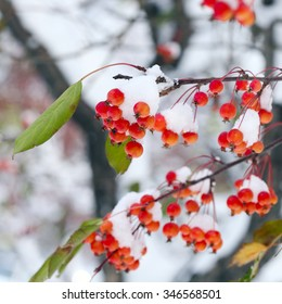 close-up of a wild apple tree in the snow on a sunny winter day