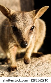 Close-up of wild Australian wallaby spotted during sunset on Magnetic Island (Townsville, Queensland, Australia)