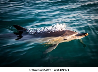 Closeup of a wild beautiful common dolphin swimming at the surface of the Atlantic ocean