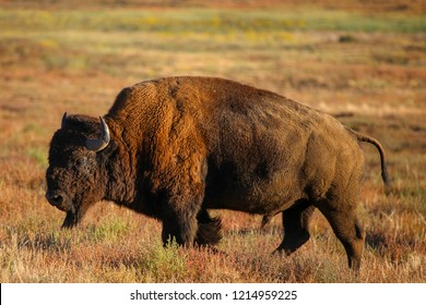Closeup of a wild bison at the Rocky Mountain Arsenal National Wildlife Refuge in Commerce City, Colorado